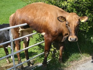 cow-fence-sitting